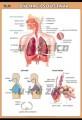 Zobrazit detail - Dýchací soustava
