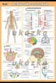 Zobrazit detail - Nervová soustava