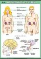 Zobrazit detail - Hormonální soustava
