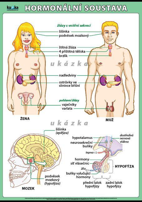 Hormonální soustava nakladatelství Kupka